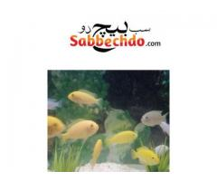 Cichlid fishes For Sale