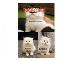 Fourth coated persian For Sale