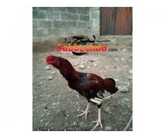 pure aseel for sale